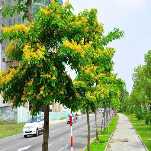 Bán cây Giáng Hương—cây công trình Trồng Vỉa Hè tại hànội