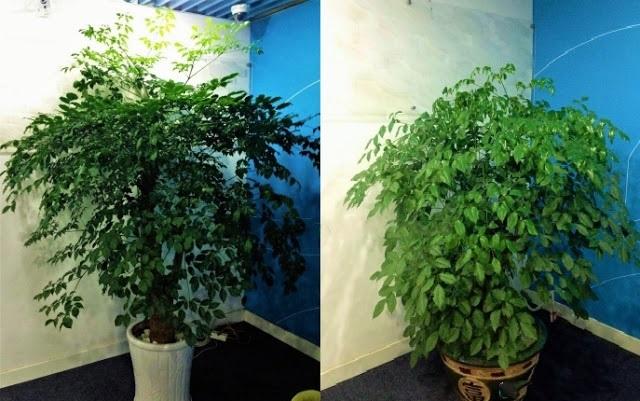 Bán cây hạnh phúc giá rẻ tại hà nội
