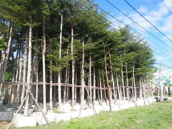 Bán cây bàng đài loan công trình tại hà nội